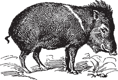 boar: Ancient engraving of a single wild pig Illustration