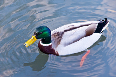 Mallard duck swimming in the lake photo