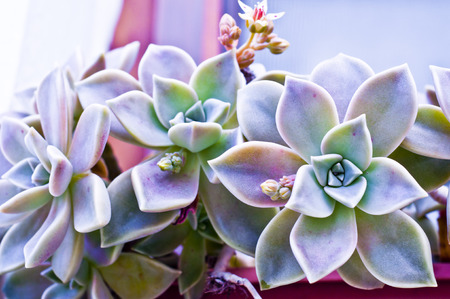 Peacock echeveria succulent plant close up photo