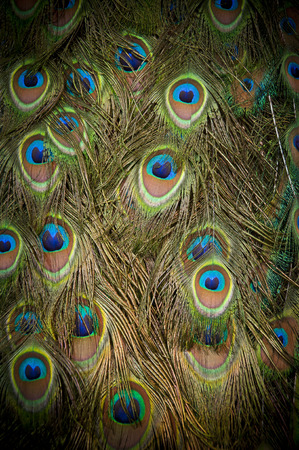 Colorful peacock feathers background photo