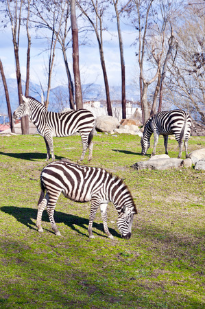 Three zebras grazing in the zoo photo