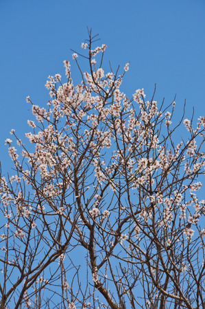 Blossoming Tree and Blue Sky photo