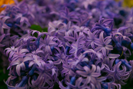 Hyacinths photo