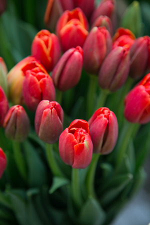 Bunch of red tulips photo