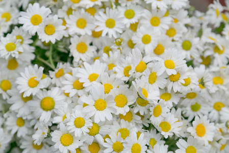 unity small flower: White daisies