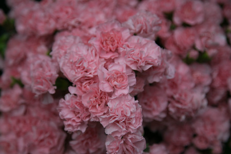 Pink carnations photo