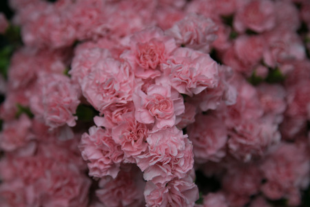unity small flower: Pink carnations