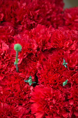 Red carnations photo