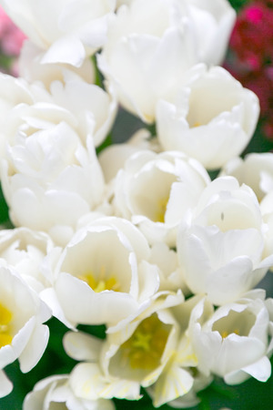 White tulips photo
