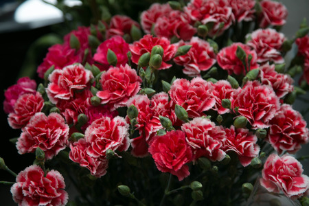 Red and white carnations photo