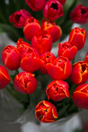 flower close up: Bunch of red tulips