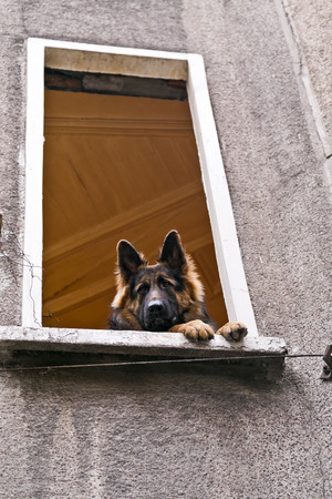 shepherd's companion: German shepherd dog looking through the window of an old building