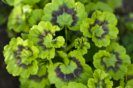 Young geranium leaves