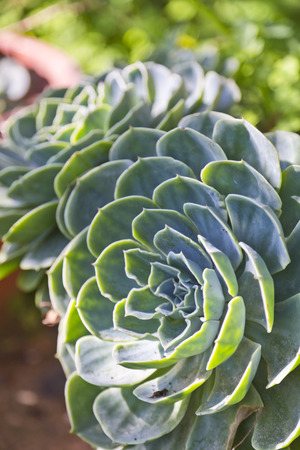 Succulent plant close up photo