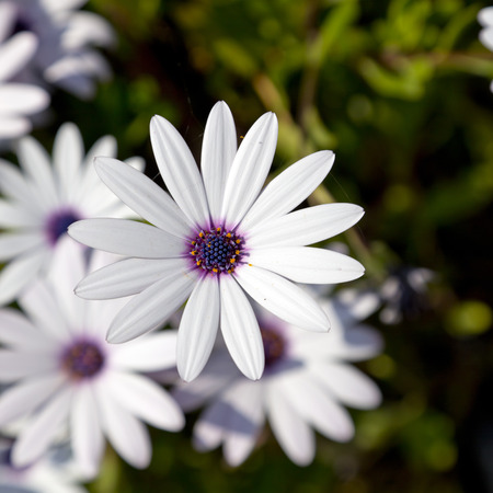 Daisies in spring time photo