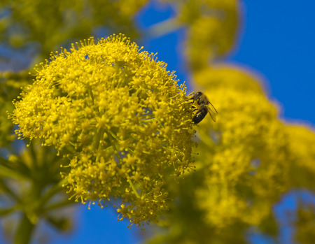 Bee drinking nectar from yellow wild flower photo