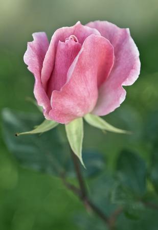 Pink rose close-up photo
