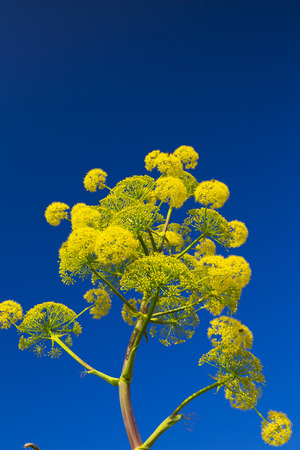 find similar images:    Find Similar Images Yellow flowered wild herb against the blue sky  Stock Photo