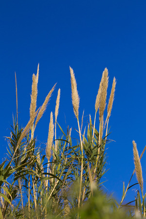 bullrush: Cattails against the blue sky Stock Photo