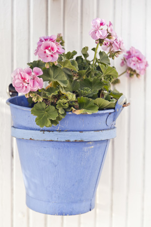 Pink geraniums in blue flower pot hung on the wall photo