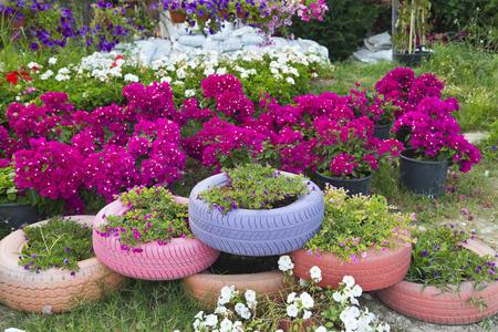petunia: Colorful petunia flowers