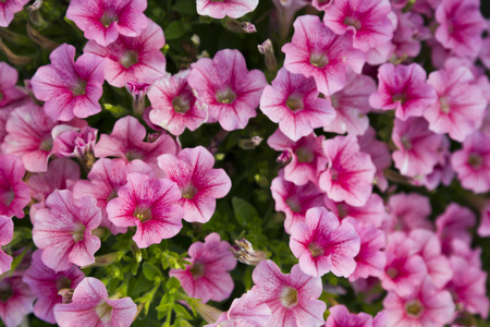 Colorful petunia flowers photo