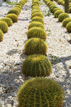 thorns  sharp: Cactus plants in a garden covered with pebbles Stock Photo
