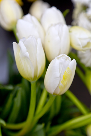 big daisy: White tulips