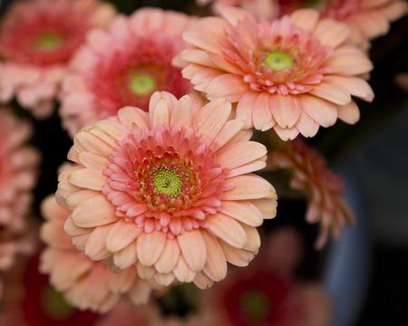 Coral dahlia Stock Photo