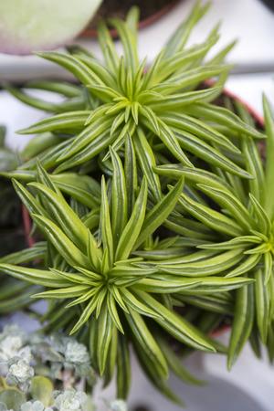 Succulent plant close up photo