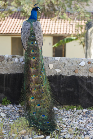 peahen: Beautiful peacock Stock Photo