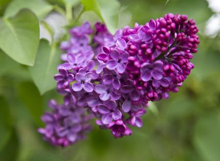 Lilac photo
