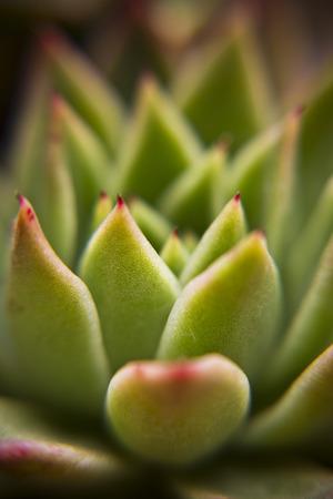 Succulent plant blossom
