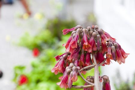 Succulent plant blossom photo