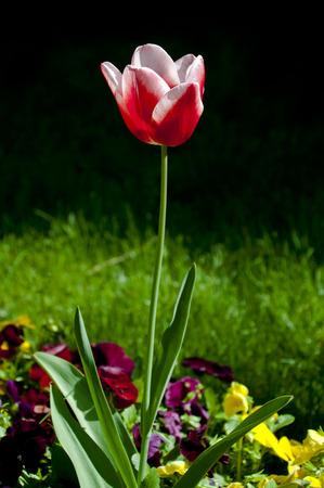 Elegant tulip blossom photo