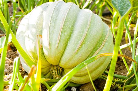 Green pumpking growing in the vegetable garden