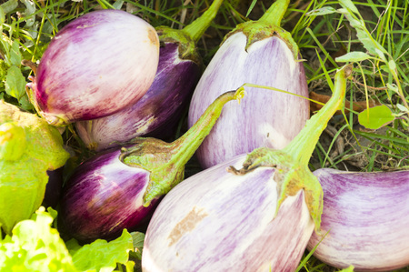 harvested: Freshly harvested eggplants in a field