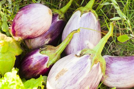 hayfork: Freshly harvested eggplants in a field