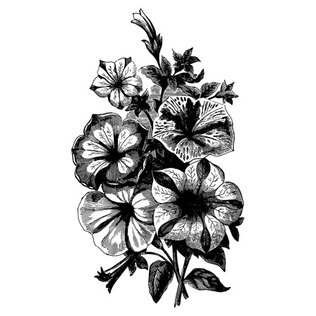 begonia: Vintage etching vector illustration of a bouquet of begonia flowers