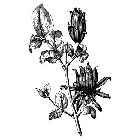 ephemera: Vintage etching vector illustration of a bouquet of flowers