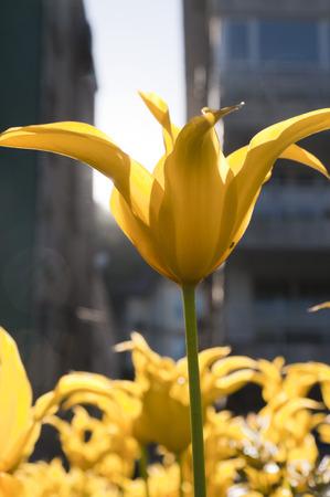 Yellow tulips photo