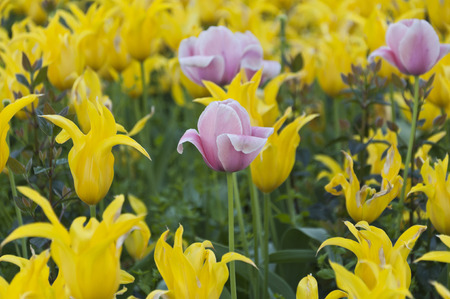 Yellow and pink tulips photo