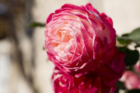 velvety: Pink oriental rose Stock Photo