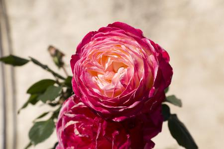 red rose bokeh: Pink oriental rose Stock Photo