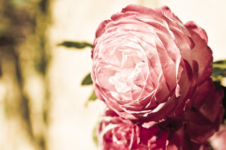 Pink oriental rose photo