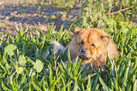 chow: Yellow chow chow or Chinese lion dog