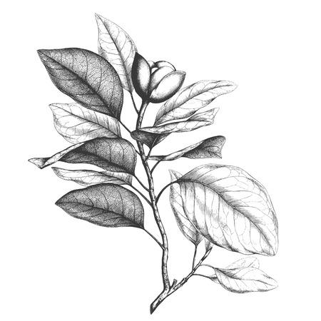 ephemera: Ancient style engraving or etching of magnolia talauma