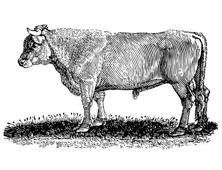 Vector drawing of a cow on the grass