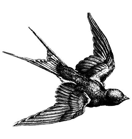 golondrinas: Esbozo de dibujo vectorial mano de un pájaro que vuela