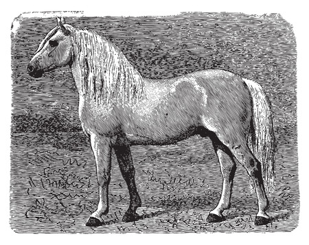 to engrave: Vintage style vector hand drawing sketch of a horse Illustration